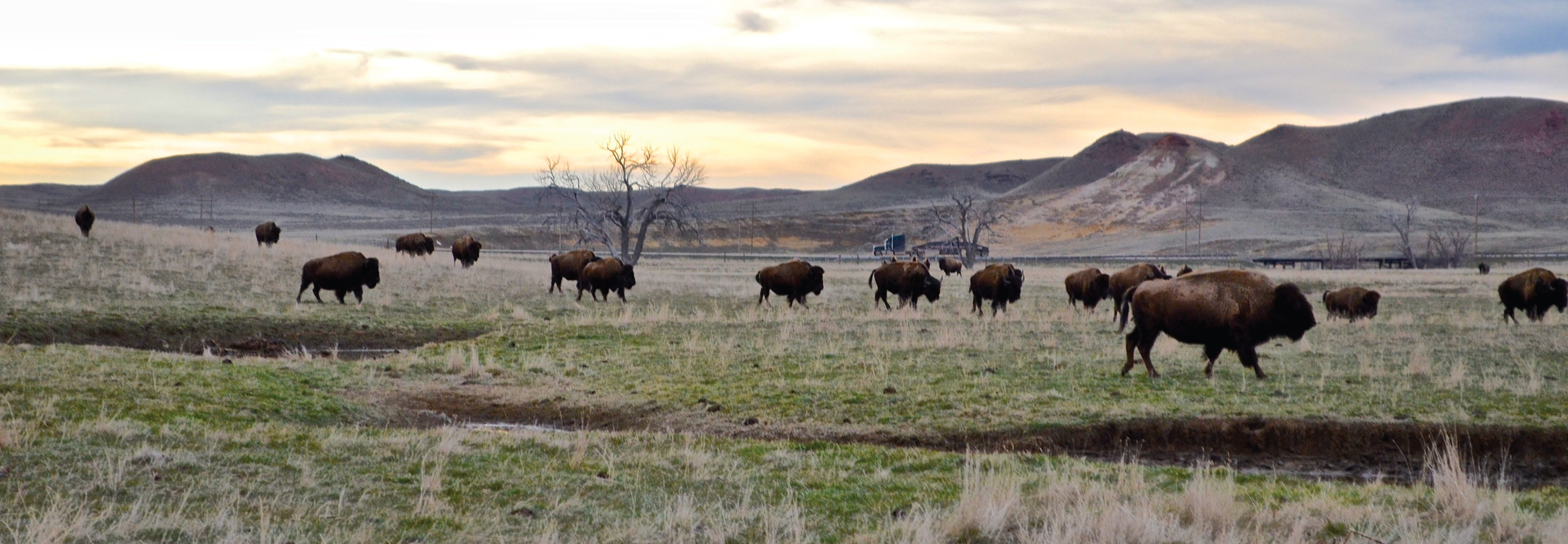 Bison roaming the open space of Campbell County, Wyoming. The County uses GIS for Parks and Recreation.